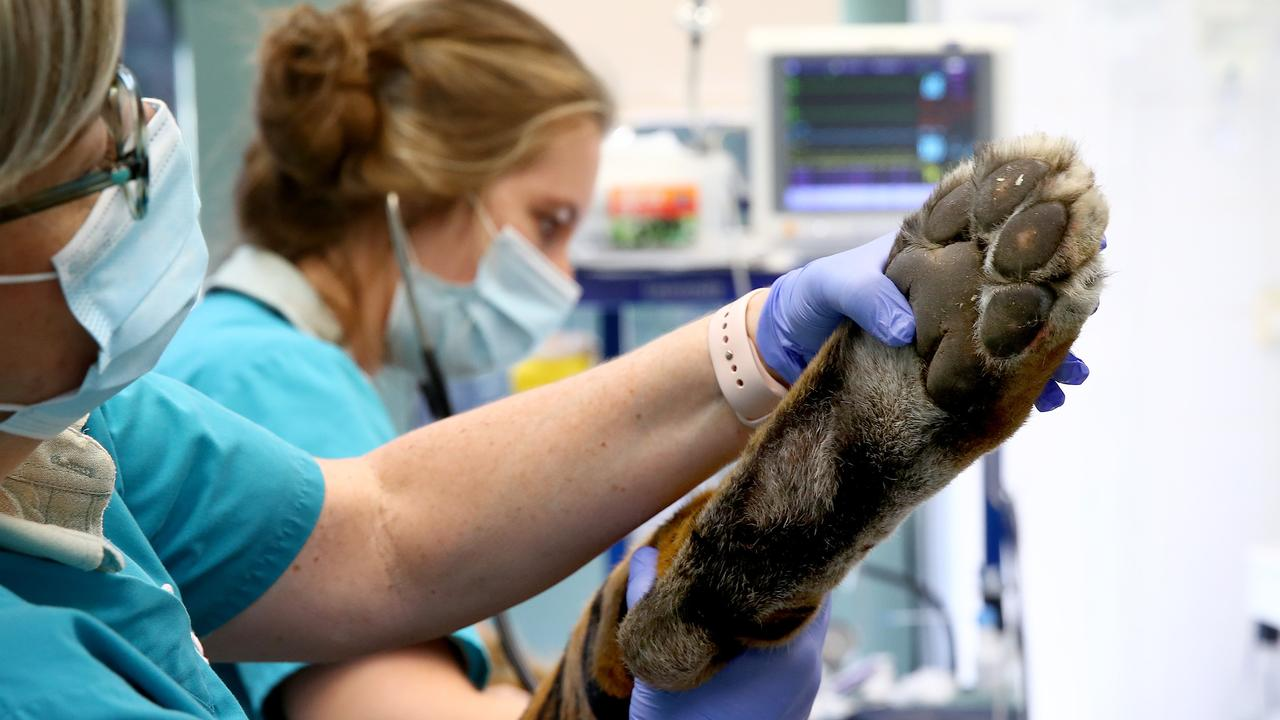 Vet nurse Liz Arthur checks the back paws. Picture: Toby Zerna