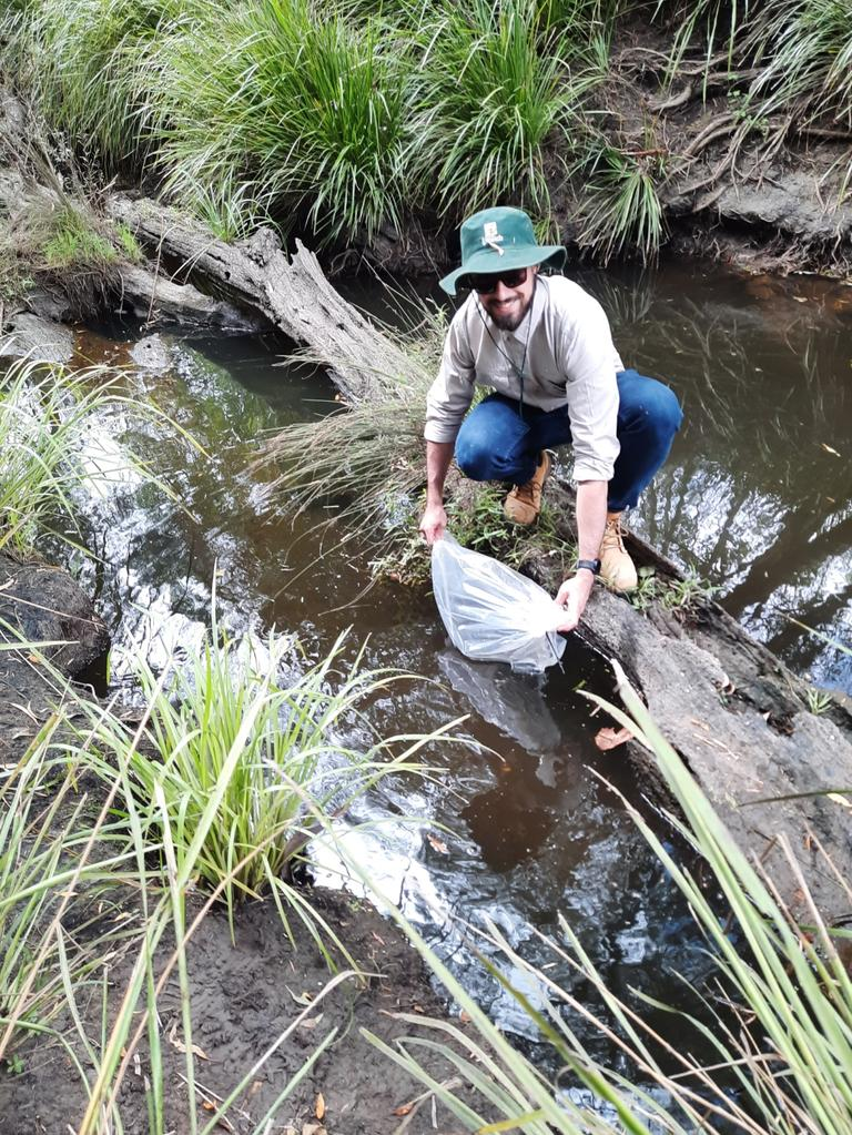 Ipswich City Council waterway health officer Jack McCann this morning releases a batch of bass fingerlings into the Bremer River. Picture: David Lems