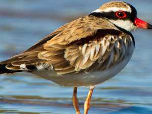 BIRD OF THE WEEK: Learn more about black-fronted dotterel