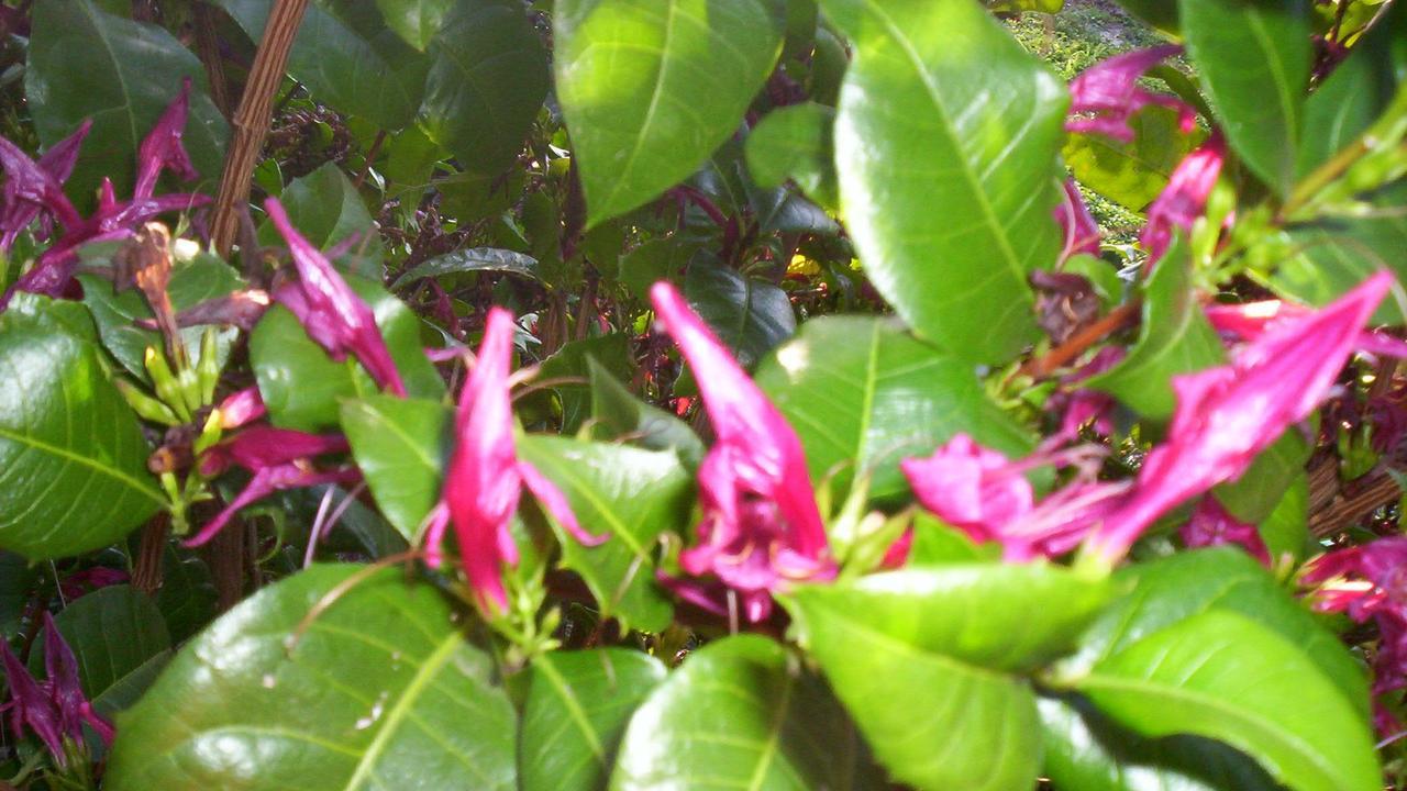 Graptophyllum ilicifolium