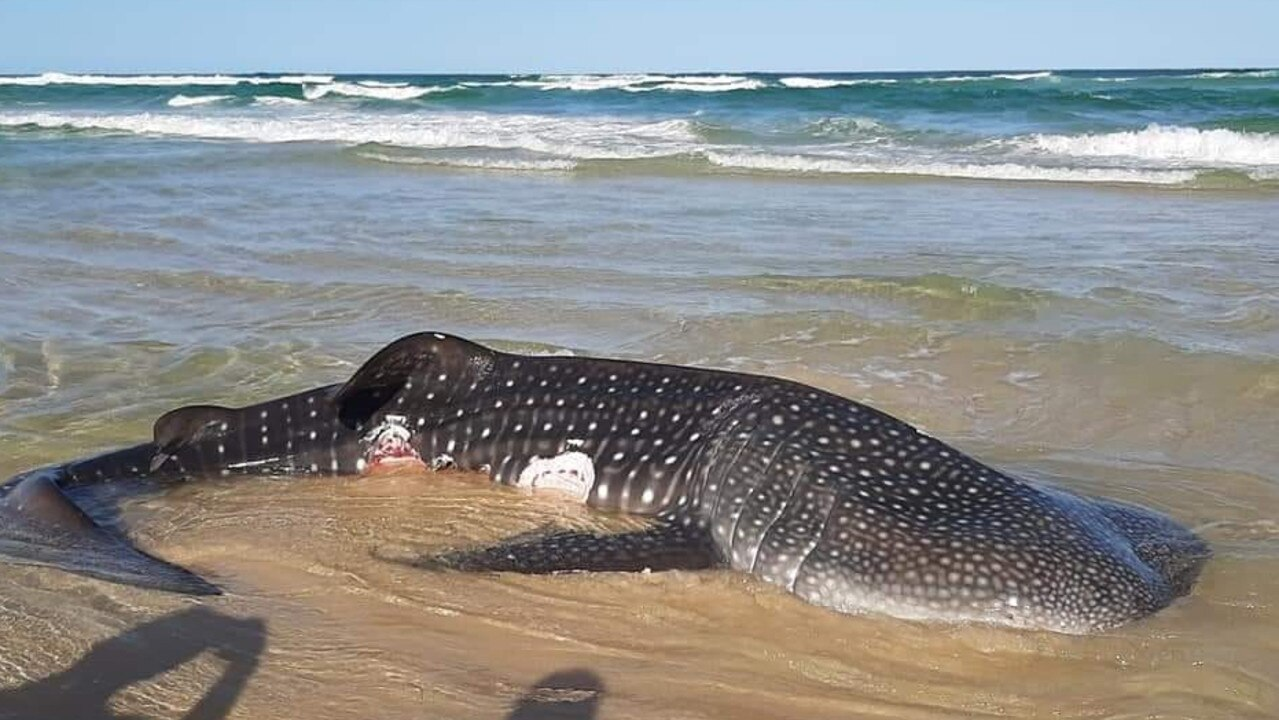 A whale shark washed up on Double Island beach was likely the same animal that surfers and swimmers freed from the rocks at Noosa National Park two weeks ago. Picture: Linda Nicole Keam