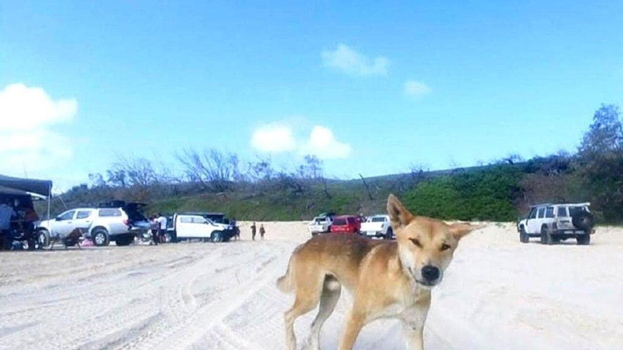 A Fraser Island dingo.