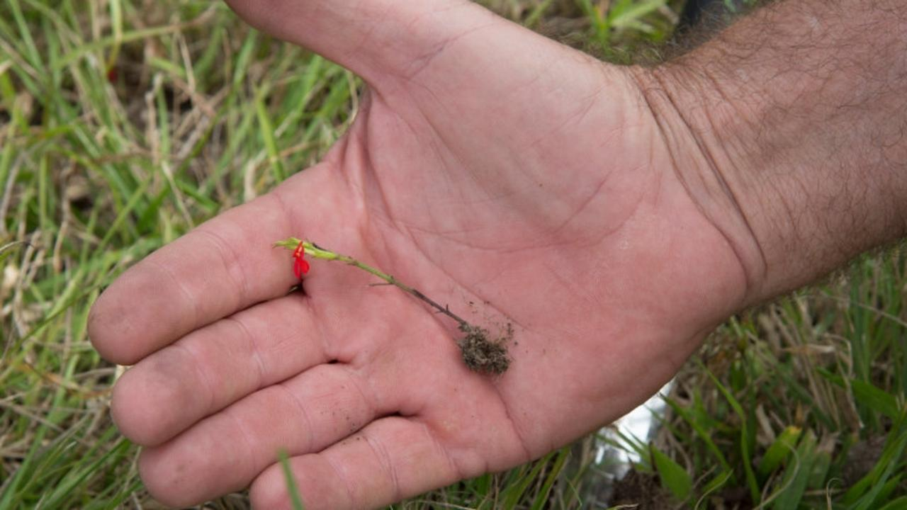 Red witchweed roots. Picture: Department of Agriculture and Fisheries.