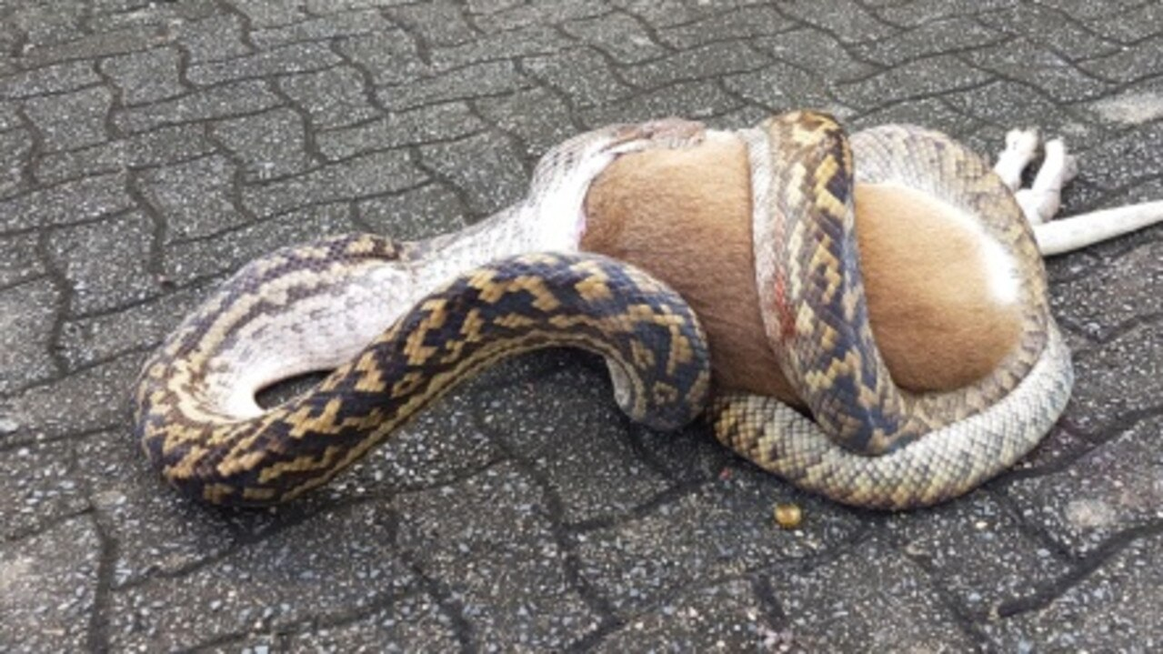 This ambitious python bit off more than it could chew in a tangle with a wallaby at Palm Cove. Picture: Paul Rafferty.