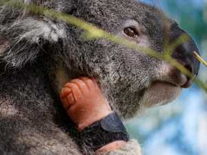 IN PICTURES: Triumph the koala becomes a global celebrity