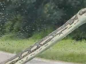 Snake hitches a ride on the Bruce Hwy