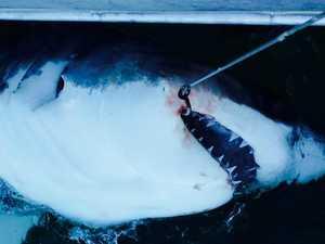 7 days with no shark drumlines off Ballina, Evans Head