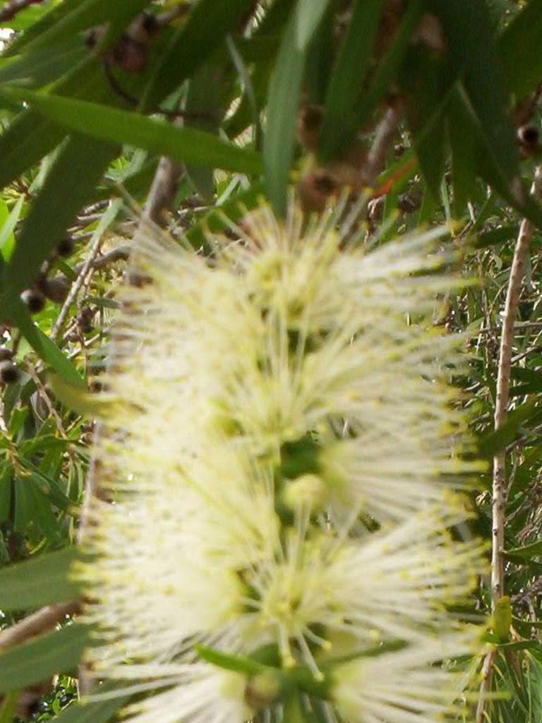 Callistemon Wilderness White