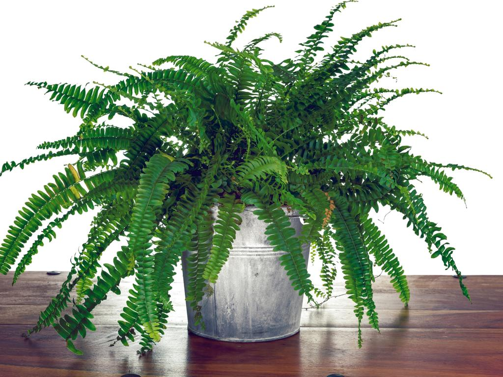A Boston Fern.