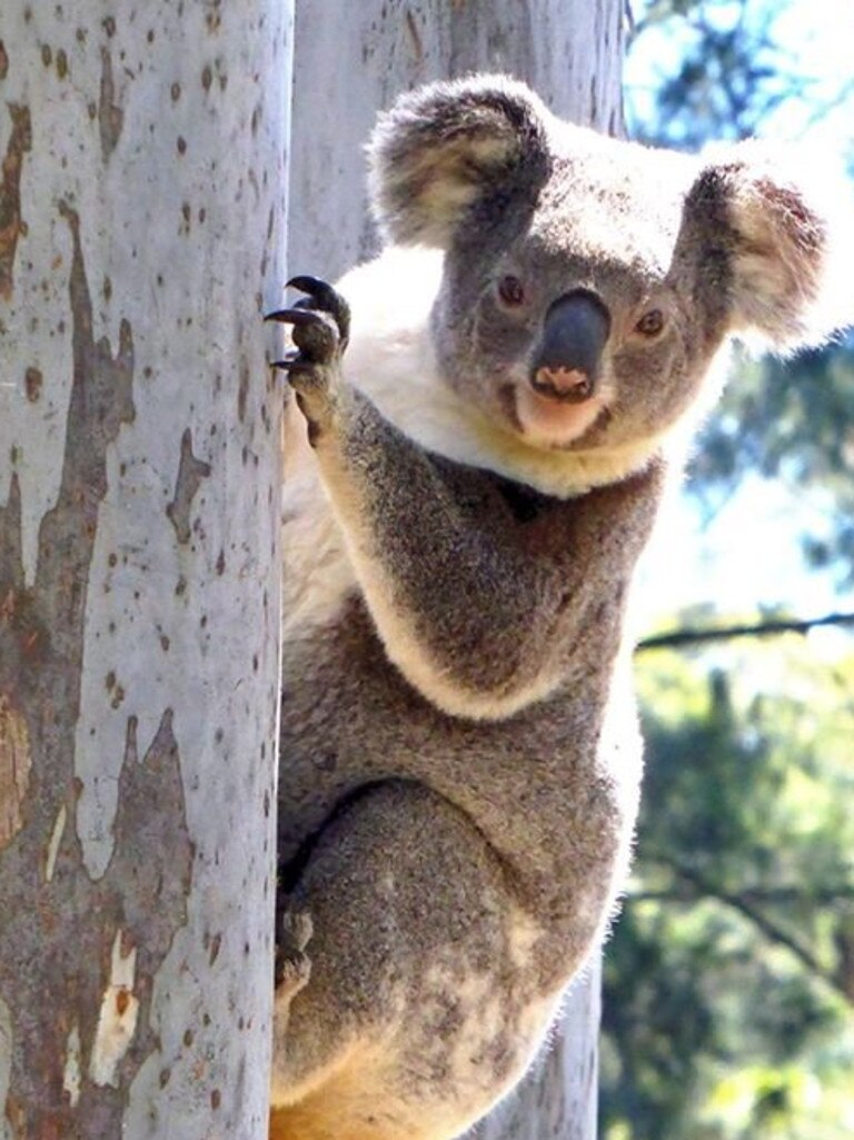 Koala in the wild. Photo: Contributed.