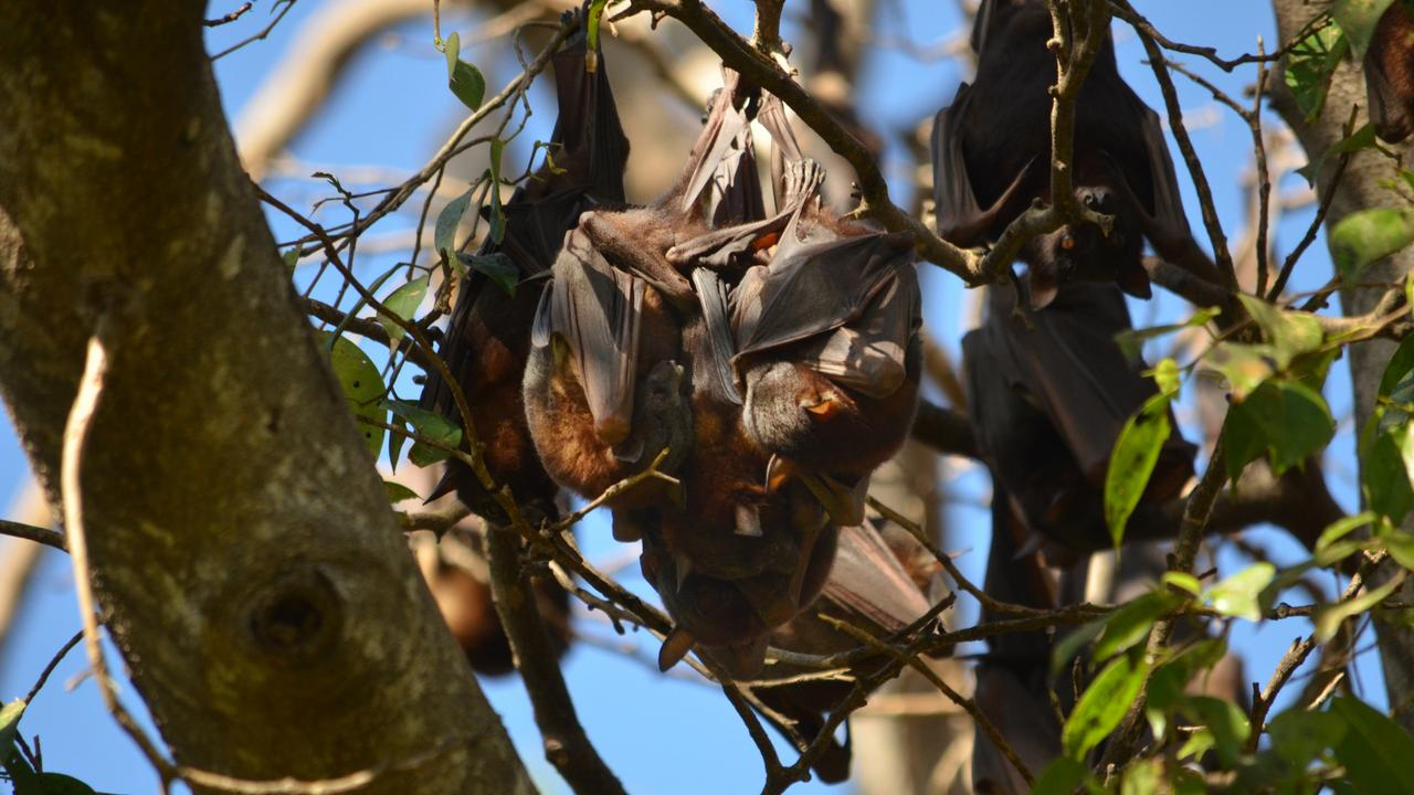 The little red flying foxes are part of a colony in the Ipswich Nature Centre that is causing a health hazard. Picture: TRUDY BROWN/ file image