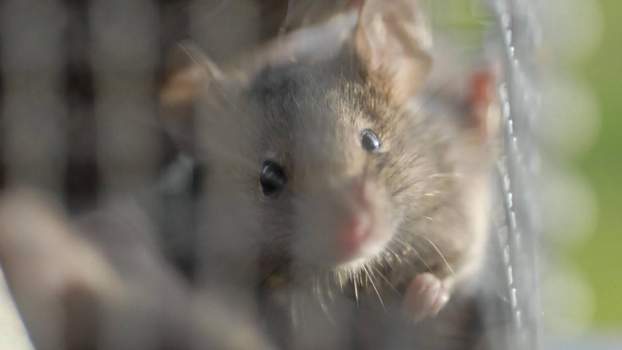 INFESTATION: One Pratten resident woke to mice running through his shoeboxes.