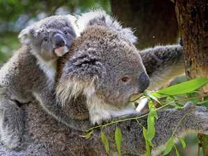 It's official - this is why we love koalas so much