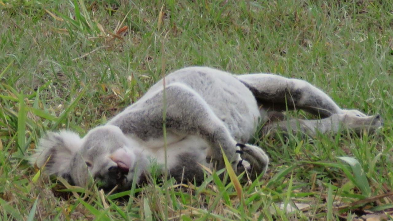 Dead koala on the Tin Can Bay Road near Laminex