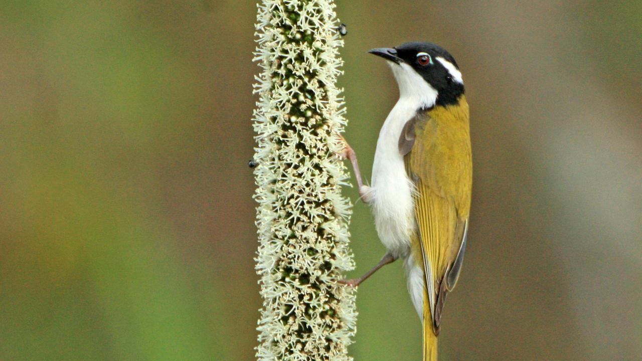 Allan Briggs talks about the white-throated honeyeater and how you can attract them to your garden.
