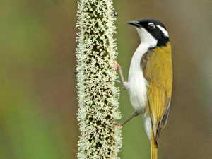 BIRD OF THE WEEK: How to attract honeyeaters to your yard