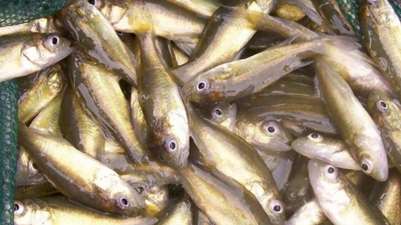 Golden perch fingerlings. Photo: Fisheries Queensland via Sail-World.