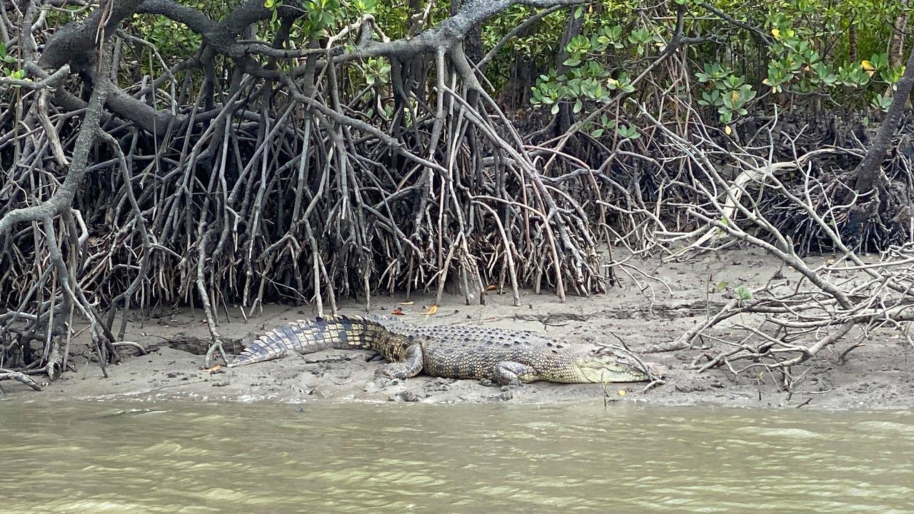 A crocodile sunning itself on a banks at Constant Creek.