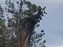 Carpet snake devours possum in Bulburin National Park