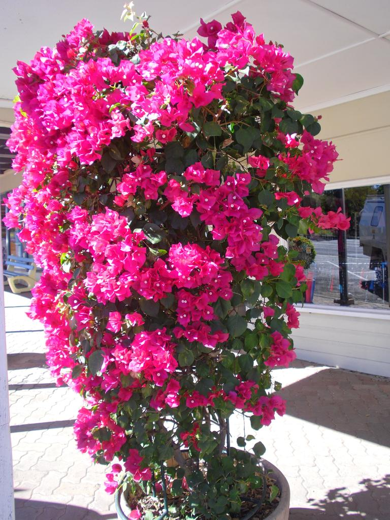 Bougainvillea Mrs Butt.