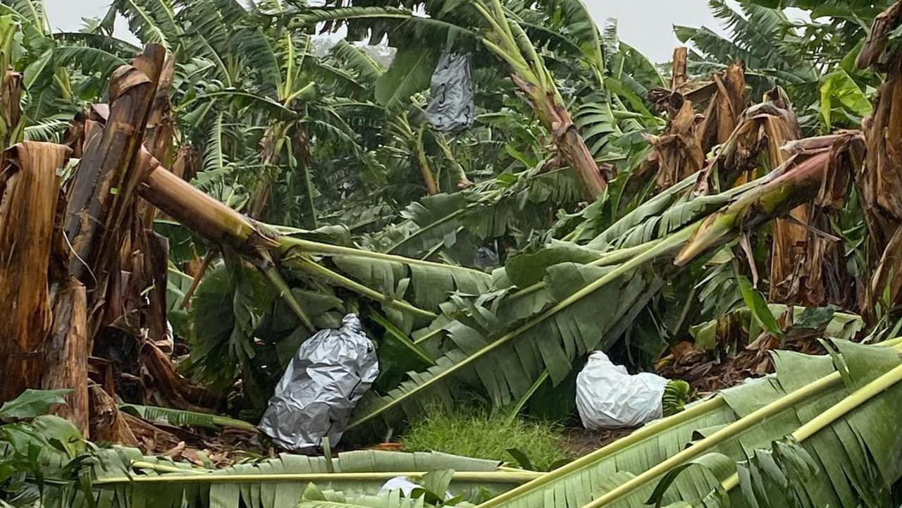 Dennis Howe of Howe Farming Enterprises at Walkamin had substantial damage to banana trees. Picture: supplied.