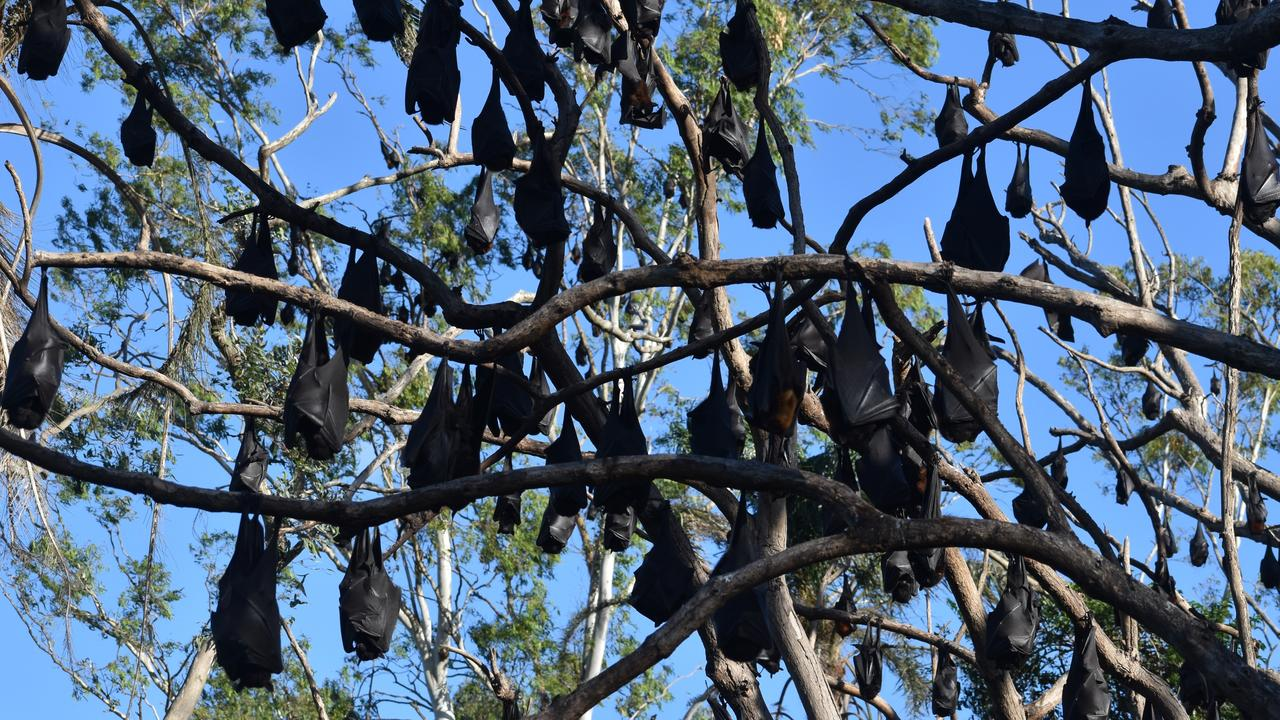 About 22,500 flying foxes are currently roosting at Ipswich Nature Centre. Pic: file photo