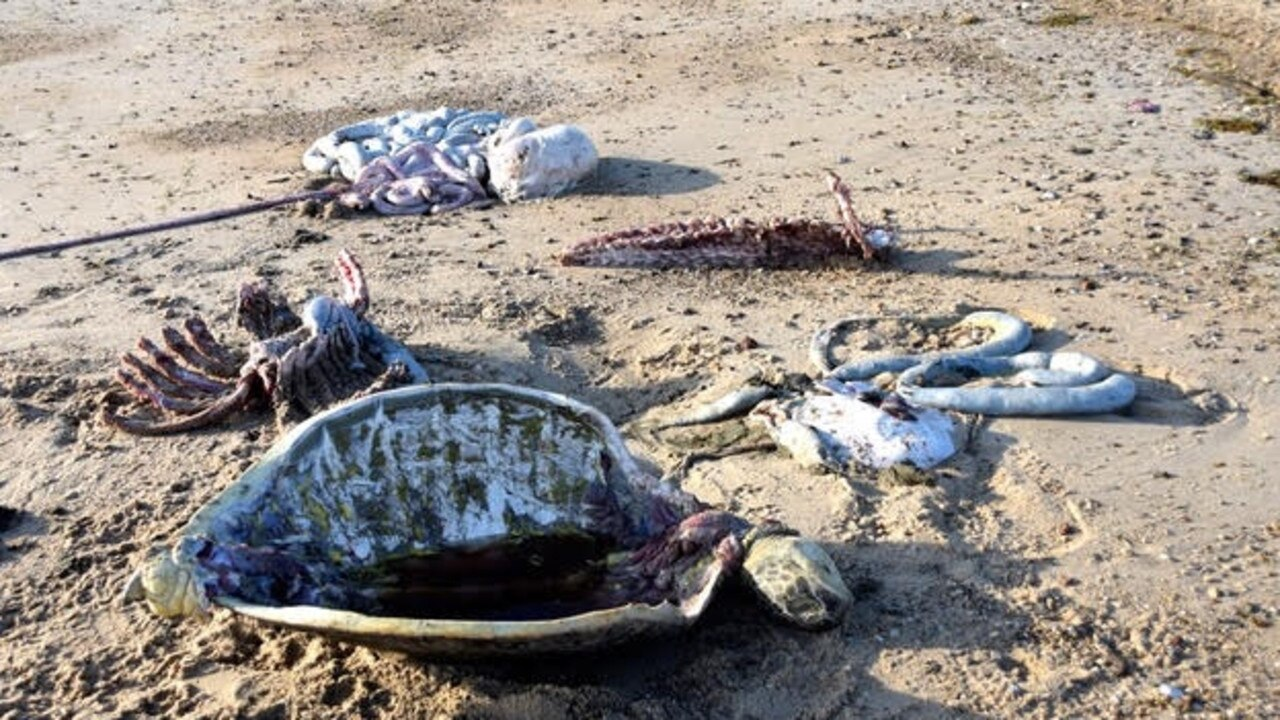 Discarded turtle entrails on a beach south of the Starcke River 120km north of Cooktown. Picture: Supplied