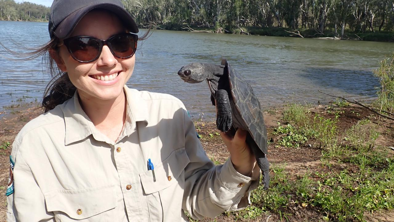 The Department of Environment and Science has released a critically endangered turtle into the Fitzroy River in Rockhampton. Picture: Contributed