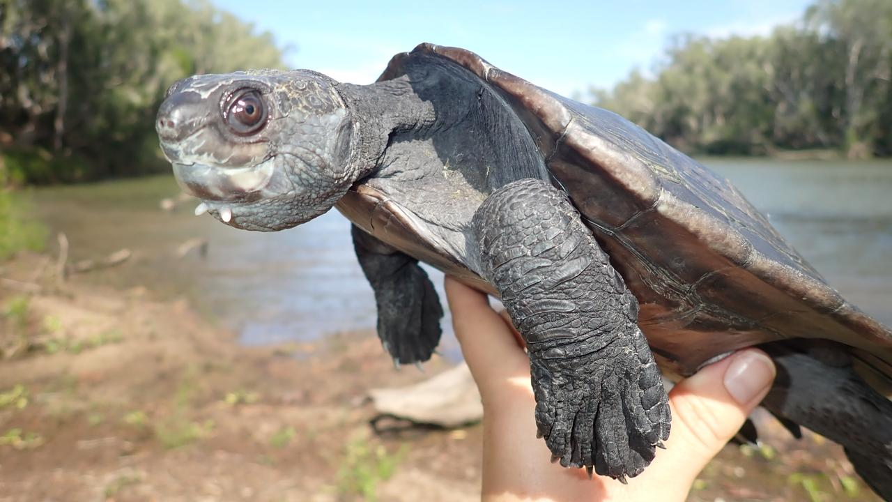 White-throated snapping turtle. Picture: Contributed