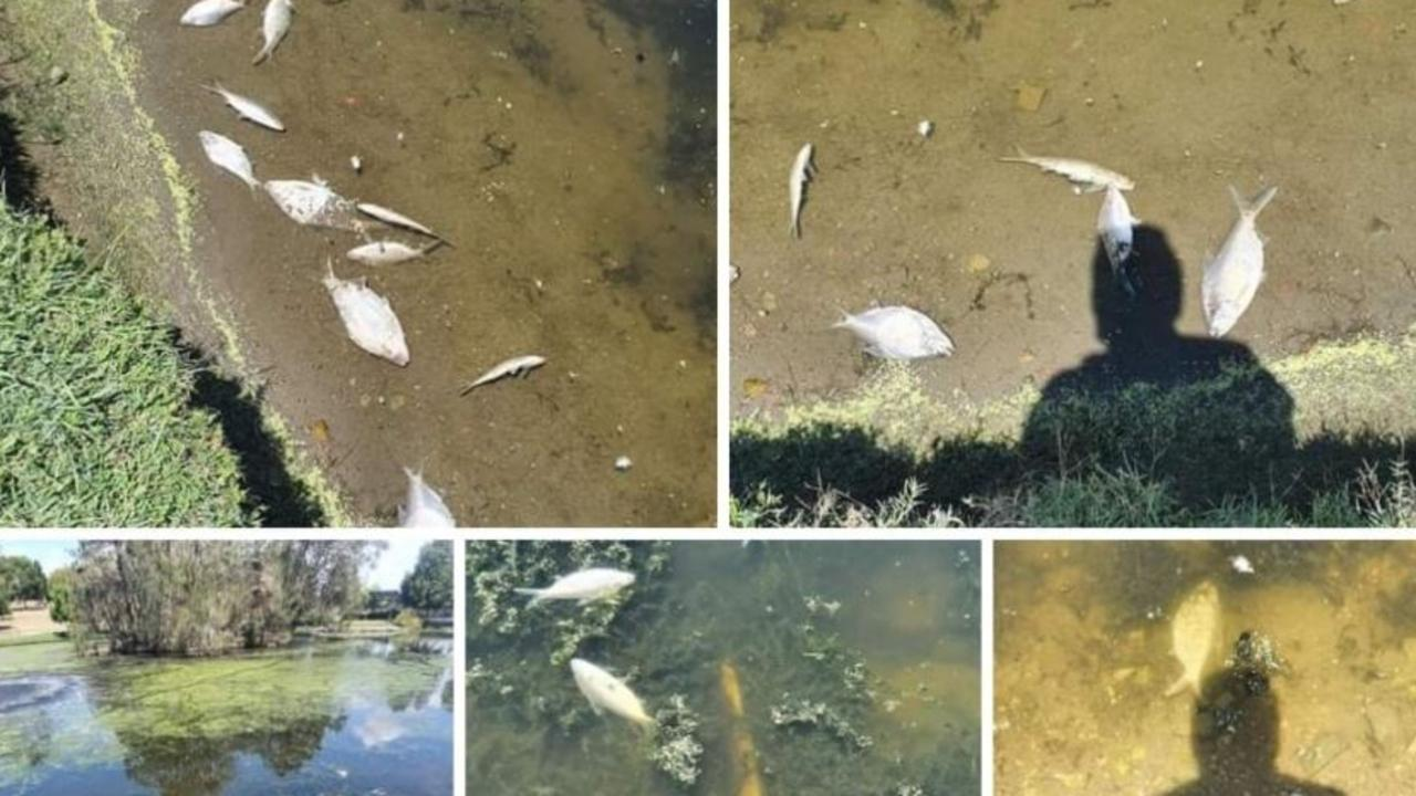 Large numbers of fish and reportedly other sea life have been found dead at Lake Alford. Picture: Rhiannon Carly McNamara