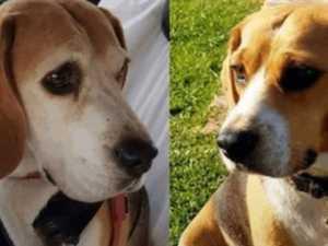 Family promises big bounty for return of beloved beagles