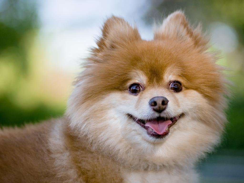 A family's Pomeranian dog was found dead following an alleged break and enter into their home.