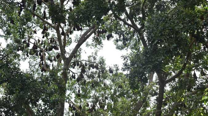 Cafe stung by record bat colony wants long-term solution