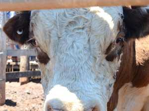 Murgon man in hospital after being 'trampled' by a bull