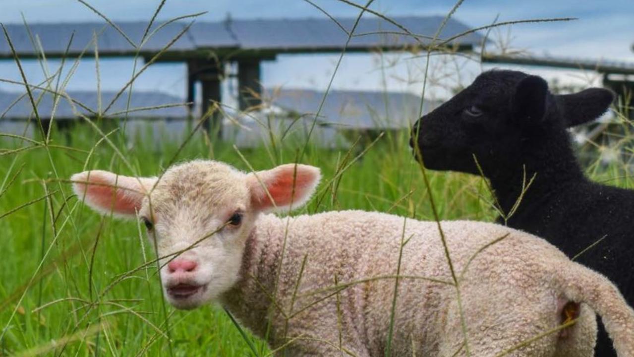 Lambs at the University of Queensland's Gatton Solar Farm. / Andrew Wilson, UQ