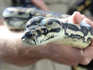 Snake bite reported at Gracemere home at 3am