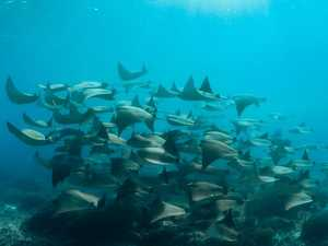 WATCH: Reef off Lady Elliot Island 'dances' with rays