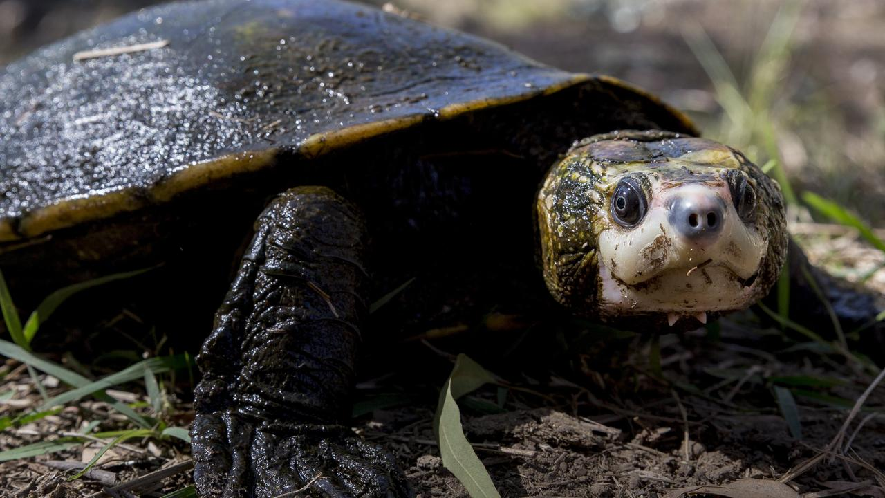 The Irwin's turtle is under threat from the planned $670m Urannah Dam.