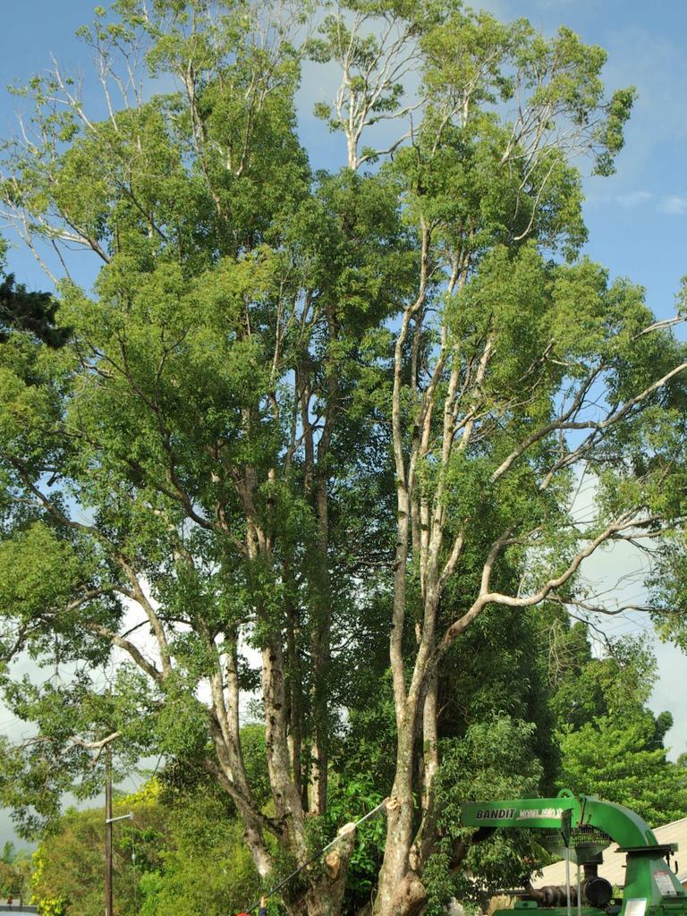 Camphor laurel tree. Photo: Paul Gobert