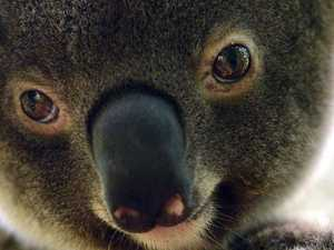 Fear developers will take advantage of koala code