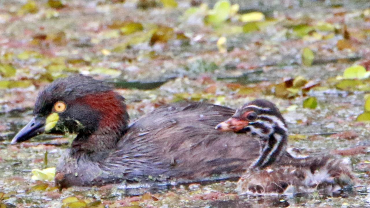 The Australasian Grebe is one of our diving birds that swim underwater to feed on fish and water insects. Photo: Contributed