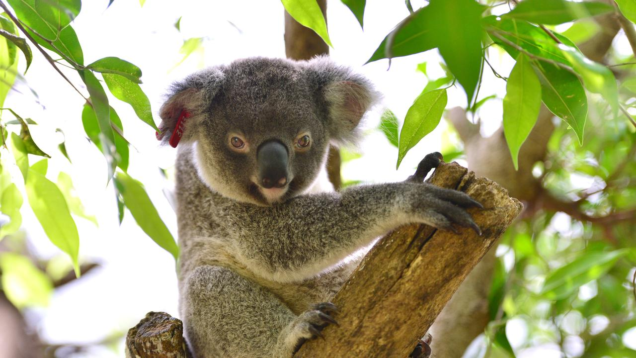 The Tweed Shire Council fears the koala SEPP plan fails to protect a large portion of the shire's koalas.
