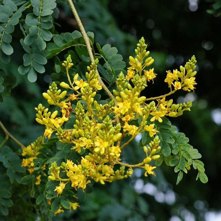 caesalpinia ferrea flower