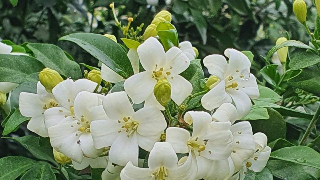 Murraya paniculata Wowan