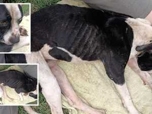 'SO SAD': Emaciated pup found abandoned at Goodna