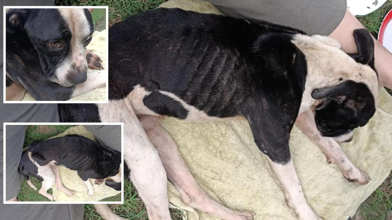 Horrific images show a badly malnourished pup who was found abandoned at Goodna. Pic: Adonis Habchi