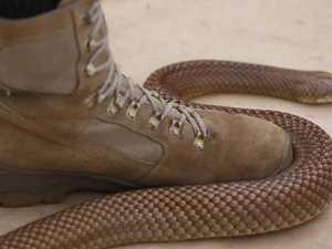 Deadly snake bite hospitalises Dalby man