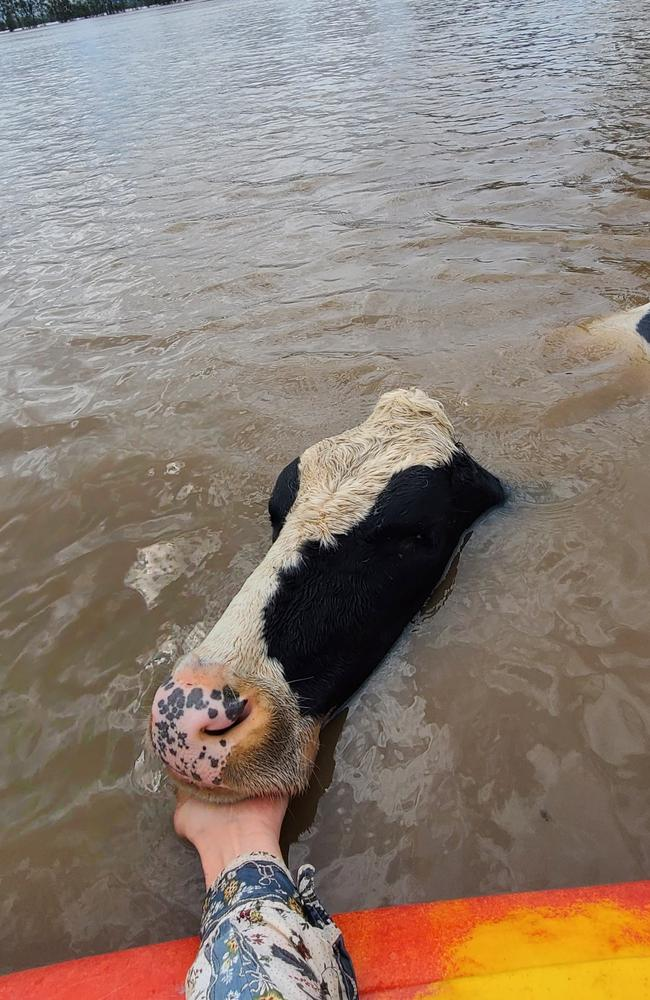 A kayaker attempts to rescue a cow on the mid-north coast.