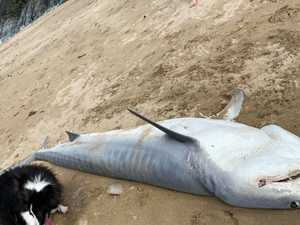 Mackay family finds dead shark washed up on popular beach