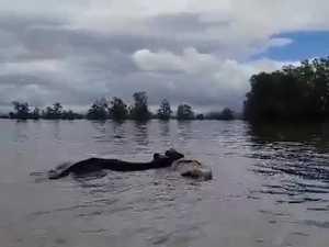 Cows in distress as region floods